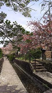 20160409桜(その45)