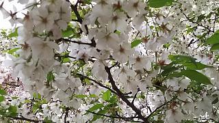 20160409桜(その47)