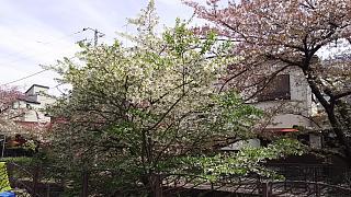 20160409桜(その49)