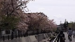 20160409桜(その50)