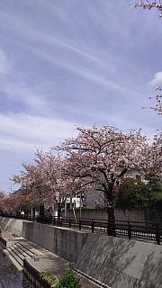 20160409桜(その51)