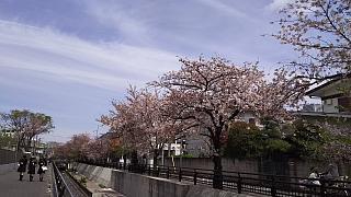 20160409桜(その52)