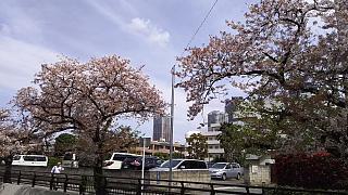 20160409桜(その54)