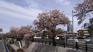20160409桜(その55)