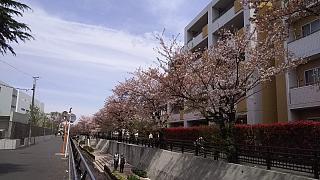 20160409桜(その56)