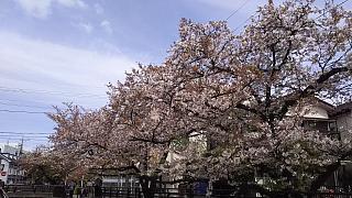 20160409桜(その60)