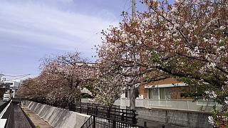 20160409桜(その62)