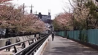 20160409桜(その64)