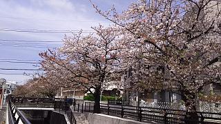 20160409桜(その65)
