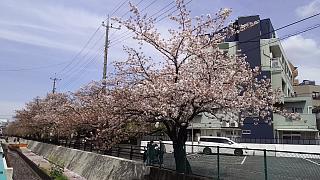 20160409桜(その69)