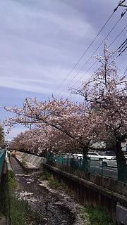 20160409桜(その71)