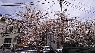 20160409桜(その72)