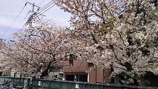 20160409桜(その74)