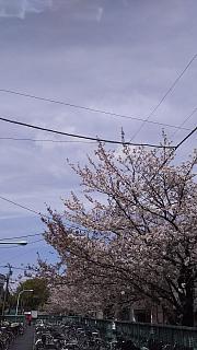 20160409桜(その76)