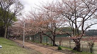 20160409桜(その80)