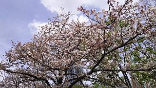 20160409桜(その82)