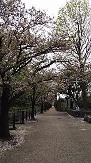 20160409桜(その83)