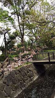 20160409桜(その85)
