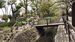 20160409桜(その86)