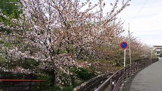 20160409桜(その87)