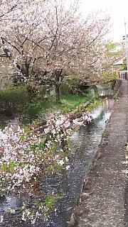 20160409桜(その92)