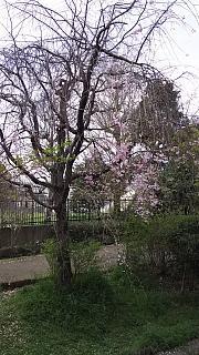 20160409桜(その93)