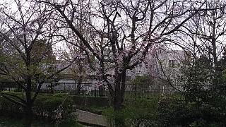 20160409桜(その94)