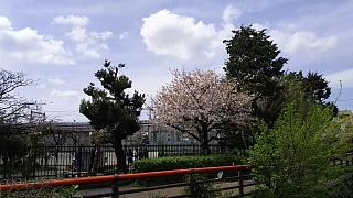 20160409桜(その95)
