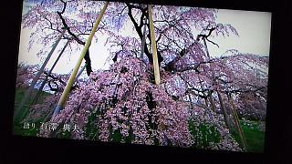 20160411三春の滝桜(その1)
