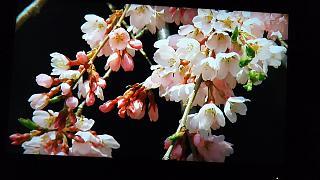 20160411三春の滝桜(その2)
