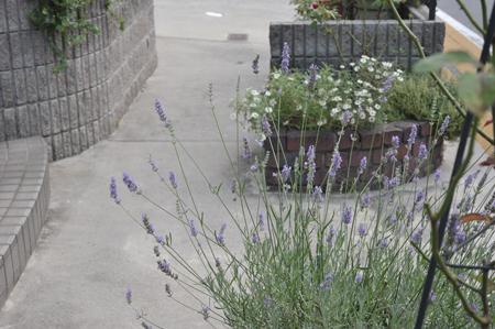 lavender2016725.jpg