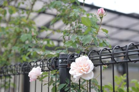 rose2016418-1.jpg