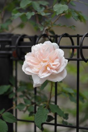 rose2016418-1a.jpg