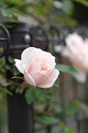 rose2016418-1b.jpg