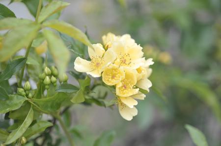 rose2016418-2.jpg