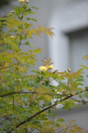 rose2016418-4a.jpg