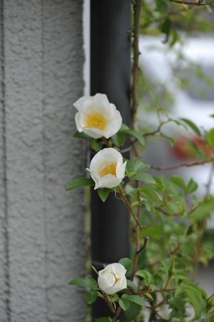 rose2016418-5.jpg