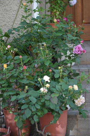 roses2016511-1.jpg