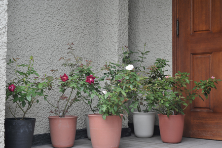 roses2016904-1.jpg
