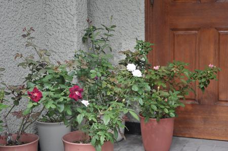 roses2016904-2.jpg