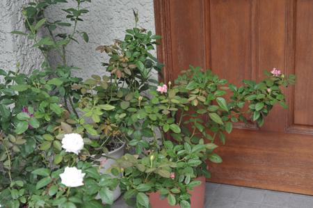 roses2016904-3.jpg