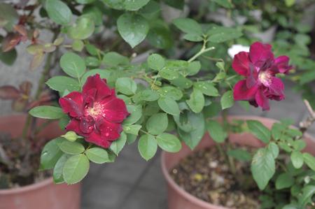 roses2016904-4.jpg