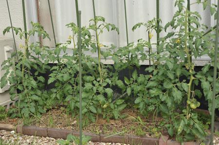 tomato2016601-1.jpg