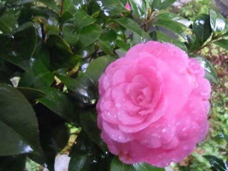 雨の八重椿1〈2016-04-07)
