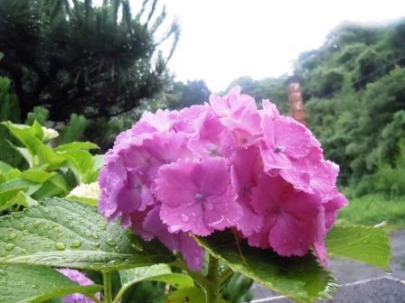 紫陽花3(2016-06-12)