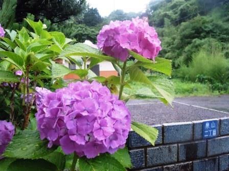 紫陽花6(2016-06-12)