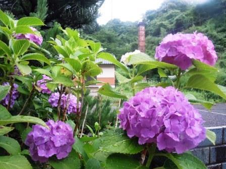 紫陽花7(2016-06-12)