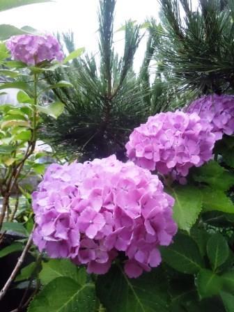 紫陽花9(2016-06-12)