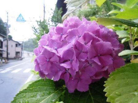 紫陽花12(2016-06-12)