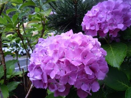 紫陽花15(2016-06-12)